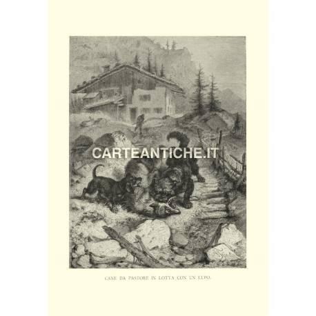 Veduta antica Svizzera: Cane Pastore in lotta con un lupo