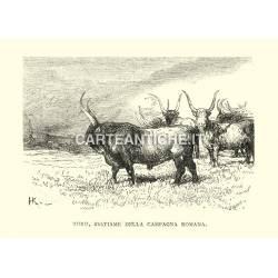 Toro, bestiame della campagna romana.
