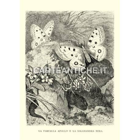 Farfalla Apollo e Salamandra nera