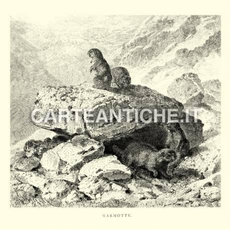 Marmotte in Svizzera